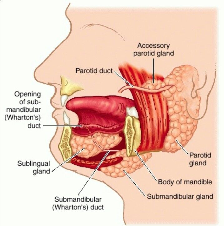 Salivary glands | Mouth & Teeth | Pinterest | Salivary gland