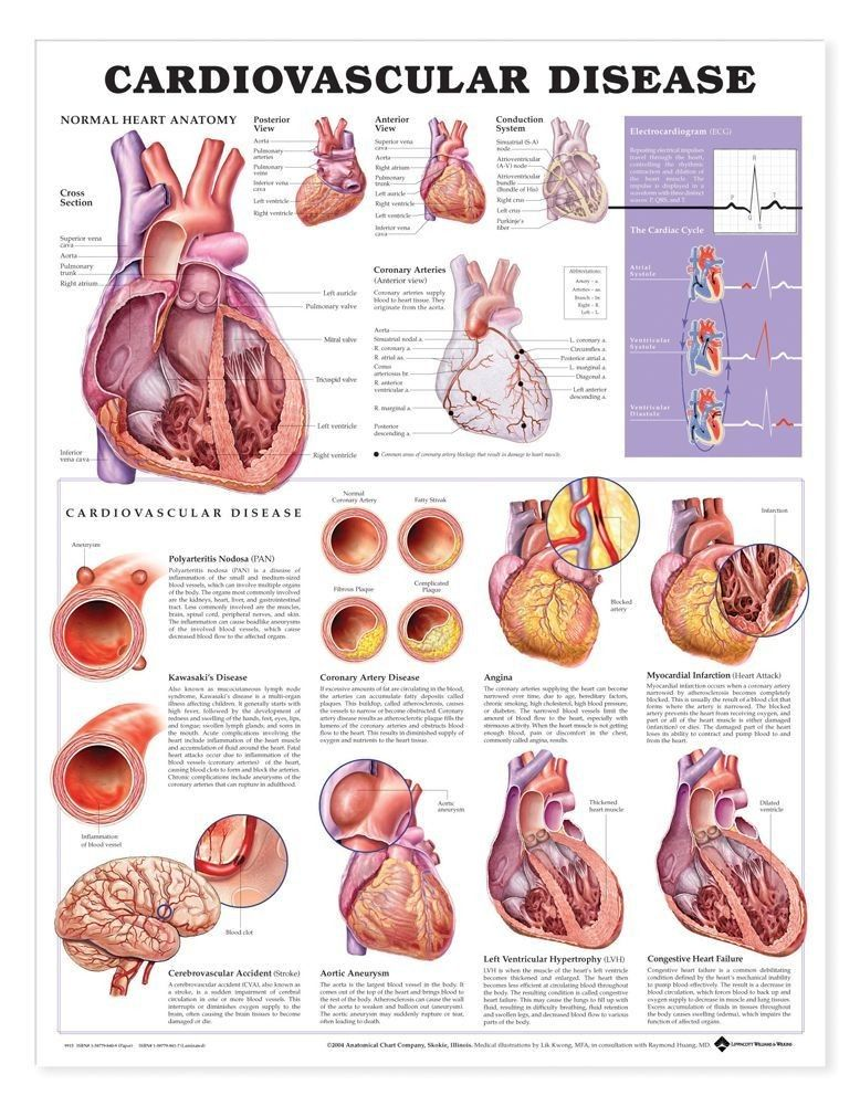 cardiovascular disease anatomical chart, 2nd edition | body, Muscles