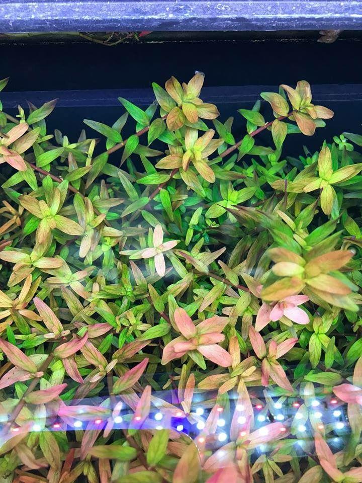 Rotala Fujian Freshwater Plants Aquatic Plants Planted Aquarium