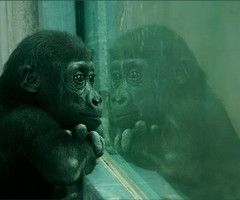 """""""I had bought two male chimps from a primate colony in Holland. They lived next to each other in separate cages for several months before I used one as a [heart] donor. When we put him to sleep in his cage in preparation for the operation, he chattered and cried incessantly. We attached no significance to this, but it must have made a great impression on his companion, for when we removed the body to the operating room, the other chimp wept bitterly and was inconsolable for days. The…"""