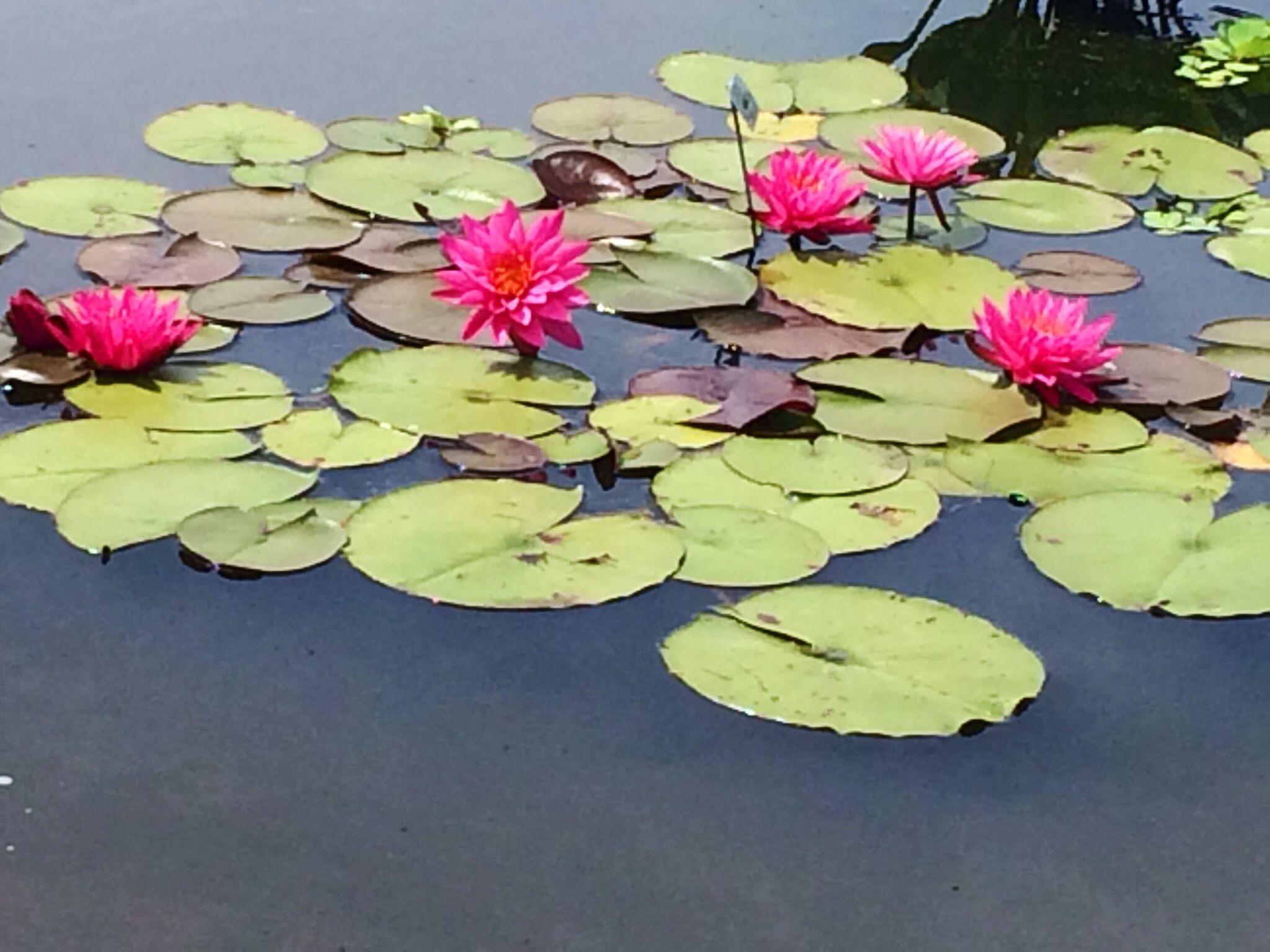 Water lillies, Powell Gardens, MO
