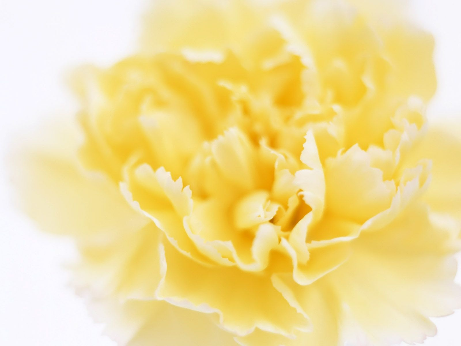 Beautiful yellow carnation flower references pinterest beautiful yellow carnation flower mightylinksfo