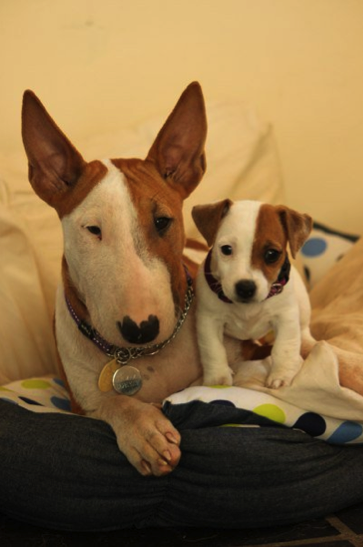 Matching Bull Terrier And Jack Russel Puppies Oh The Cuteness