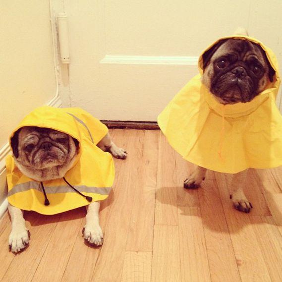 pugs-raincoats
