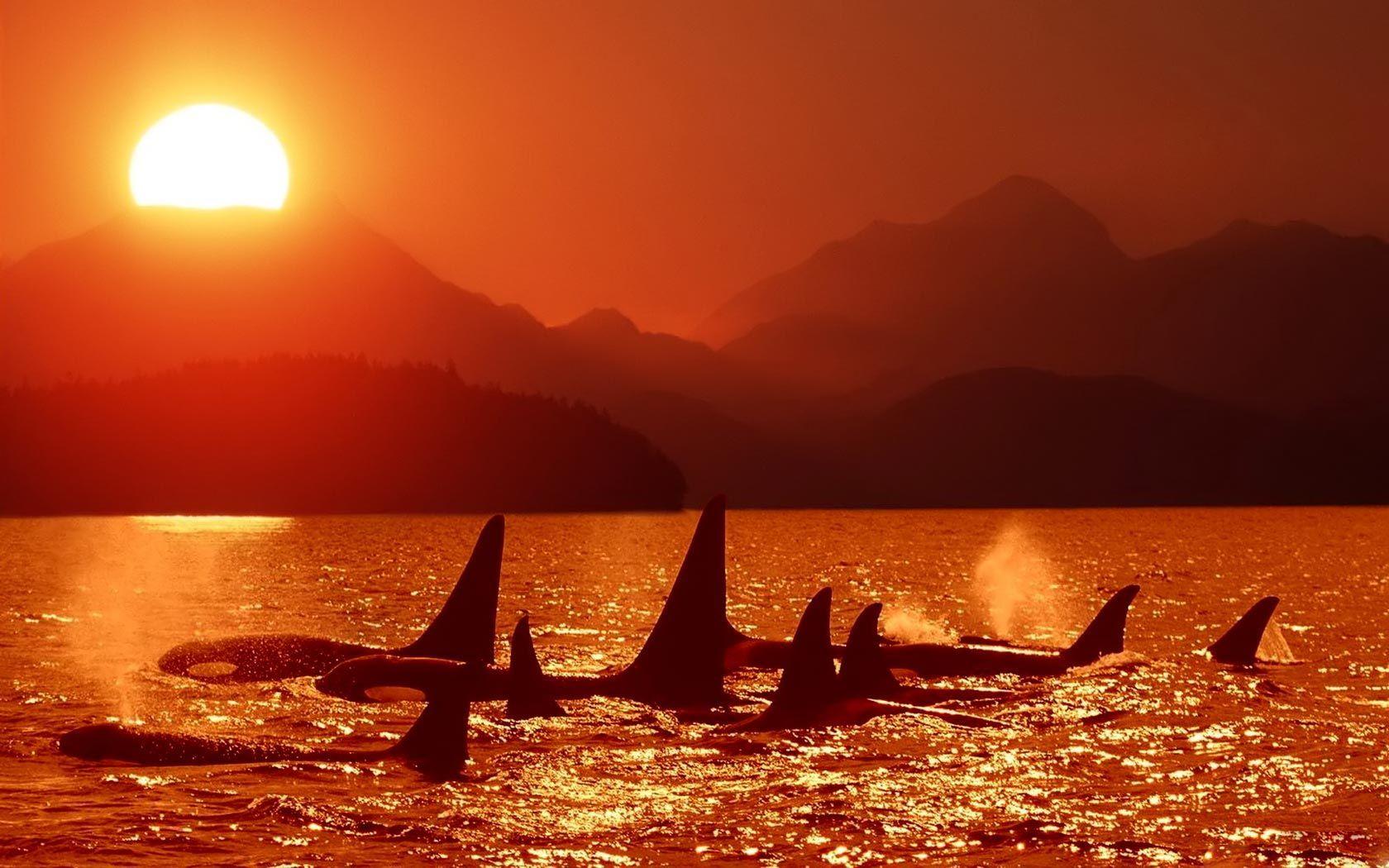 Orcas wallpaper buscar con google orcas pinterest orcas orcas wallpaper buscar con google altavistaventures Gallery