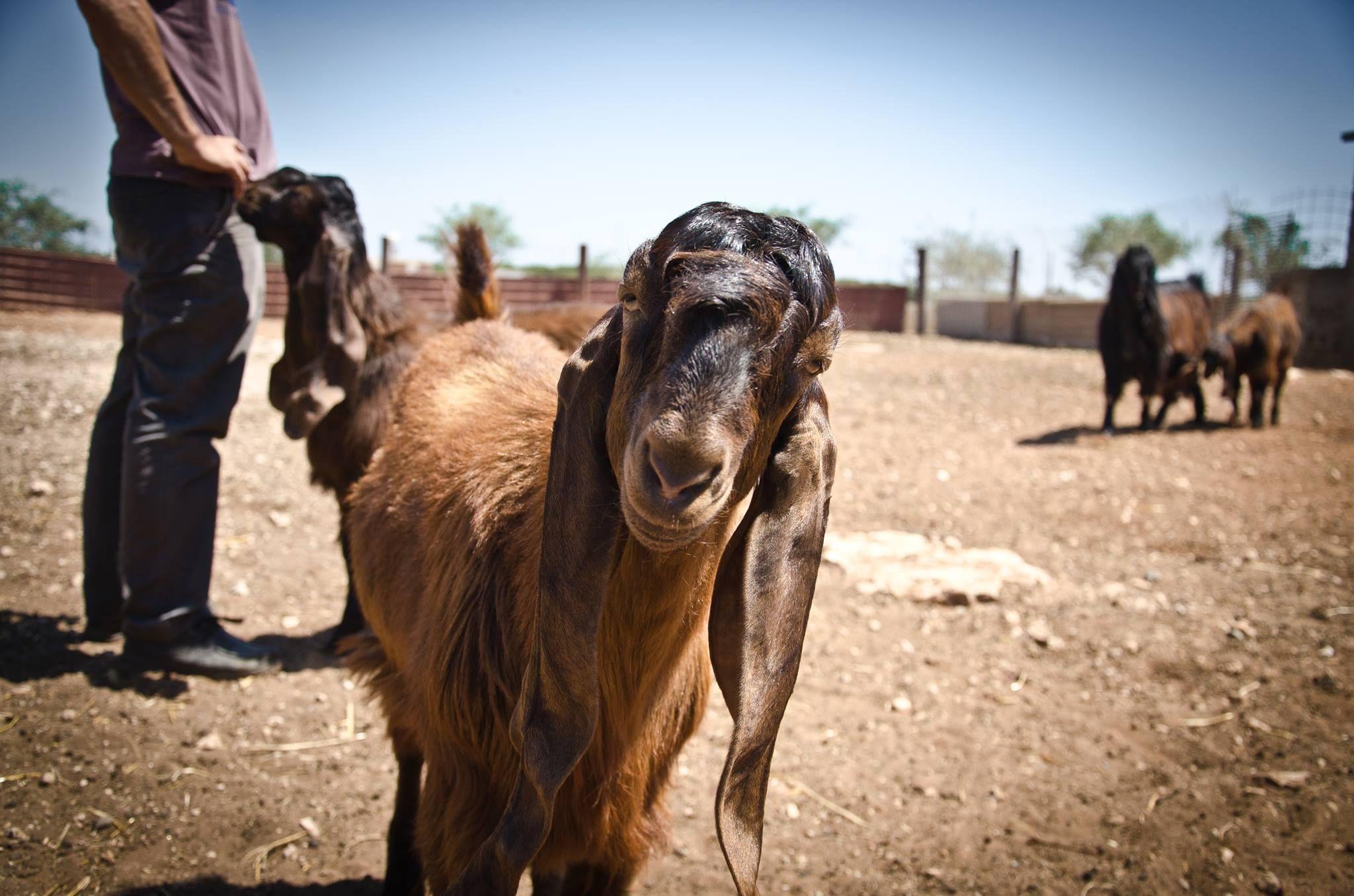 Damascus Goat - 0425