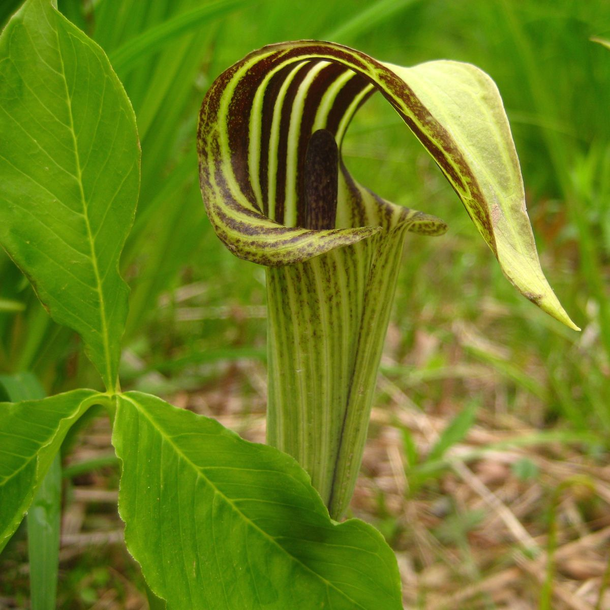 Image result for arisaema triphyllum cactus plants