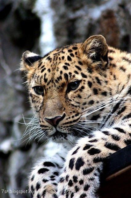 صور فهد أجمل صور حيوان النمر مع بعض المعلومات عنه Animals Cat Care Cheetah Pictures