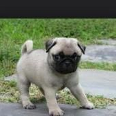 Pug Puppies Three Quarter Pugs They Are More Pug Lancing