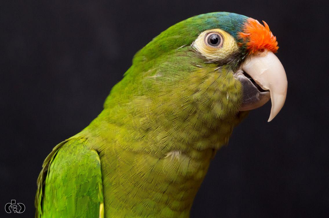 Half Moon Conure Pet Birds Conure Beautiful Birds