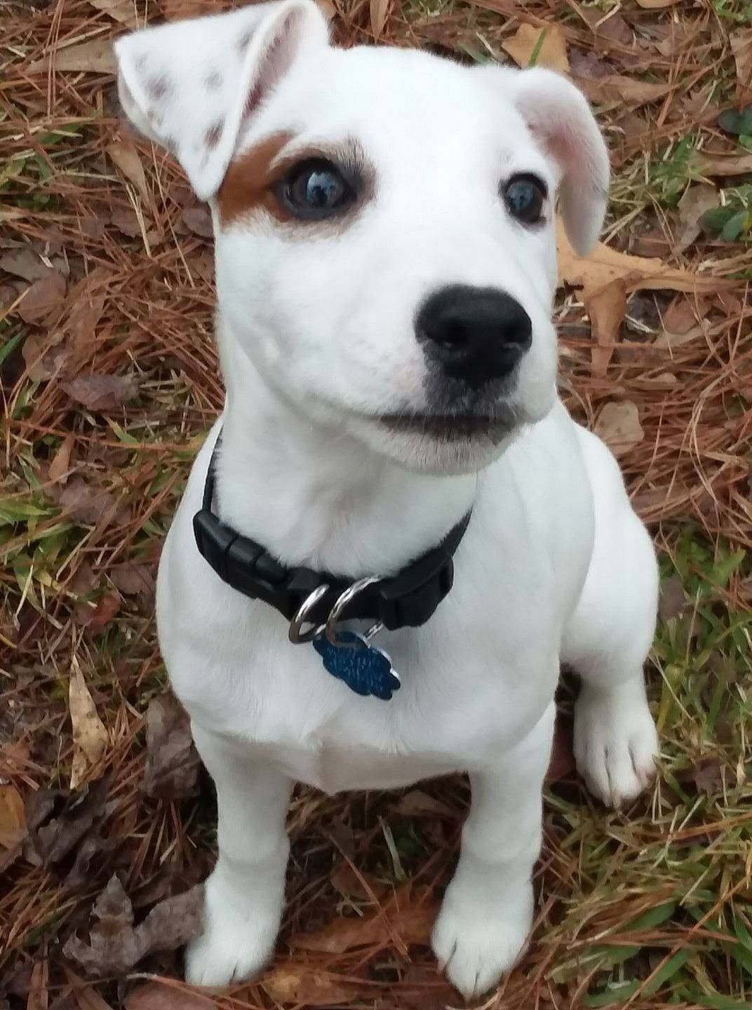 Pin By Holly Mitchell On Jack Russell Terrier Jack Russell Baby Dogs Cute Animals