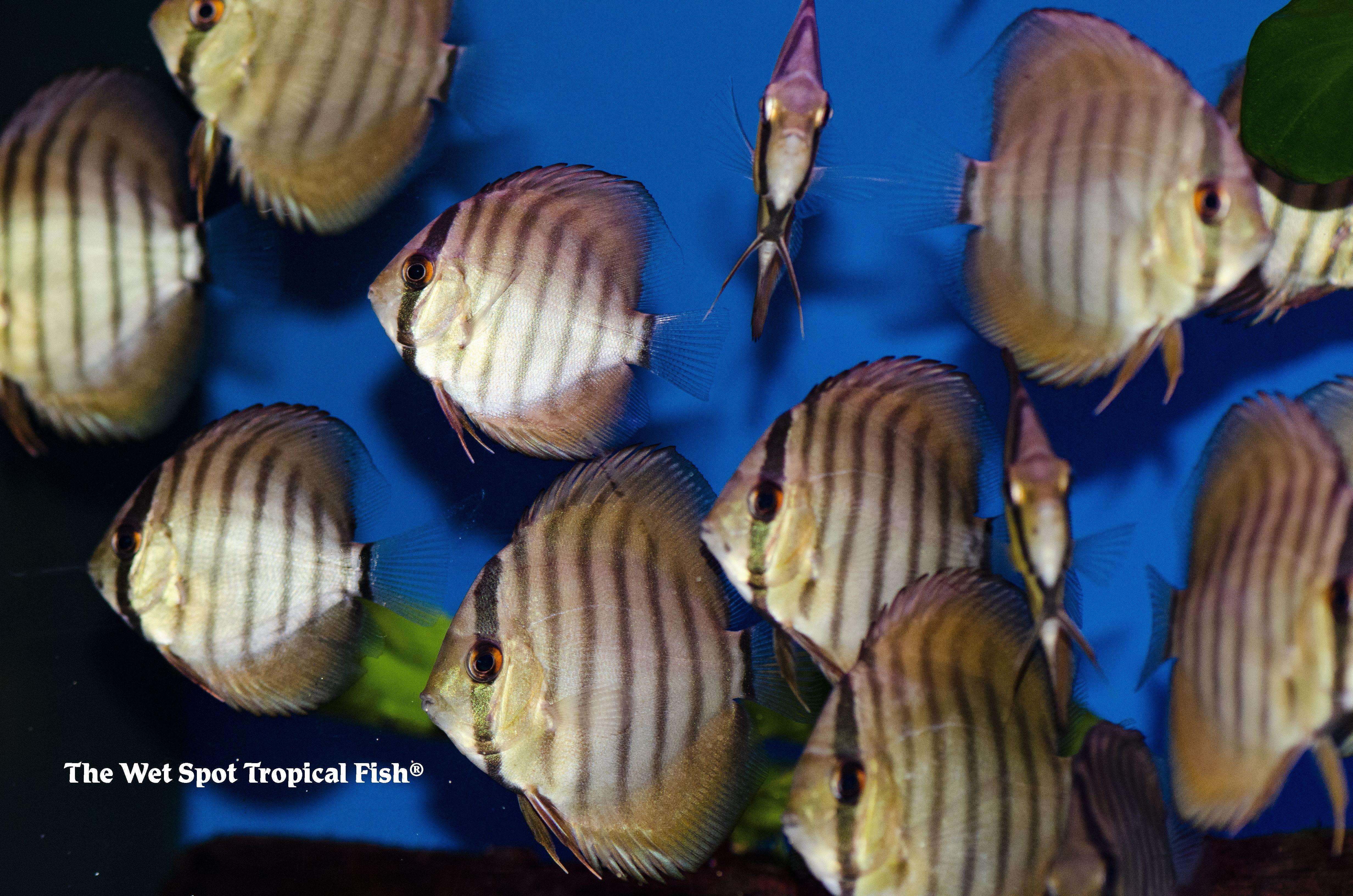 Discus Symphysodon Tropicalfish Exoticfish Freshwaterfish Cichlid Fishforsale Aquariumaddict Aquariumde Tropical Fish South American Cichlids Cichlids