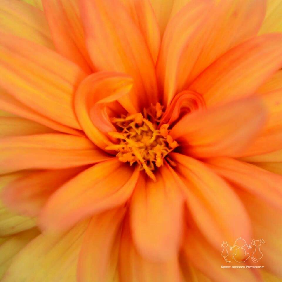 Orange Dahlia (C) Sherry Anderson. All rights reserved