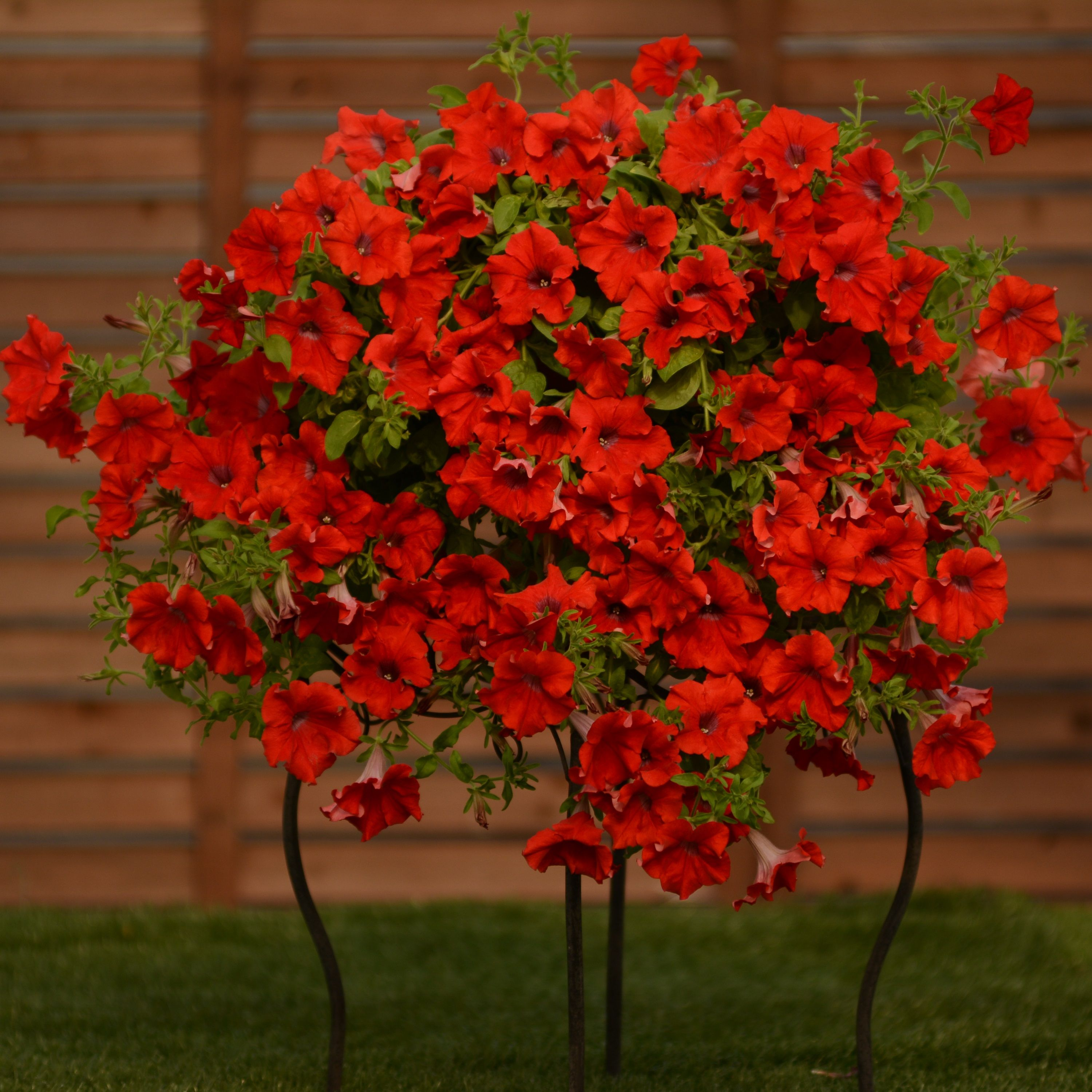 Petunia Surfinia Trailing Red Rev Up Your Reds With The New