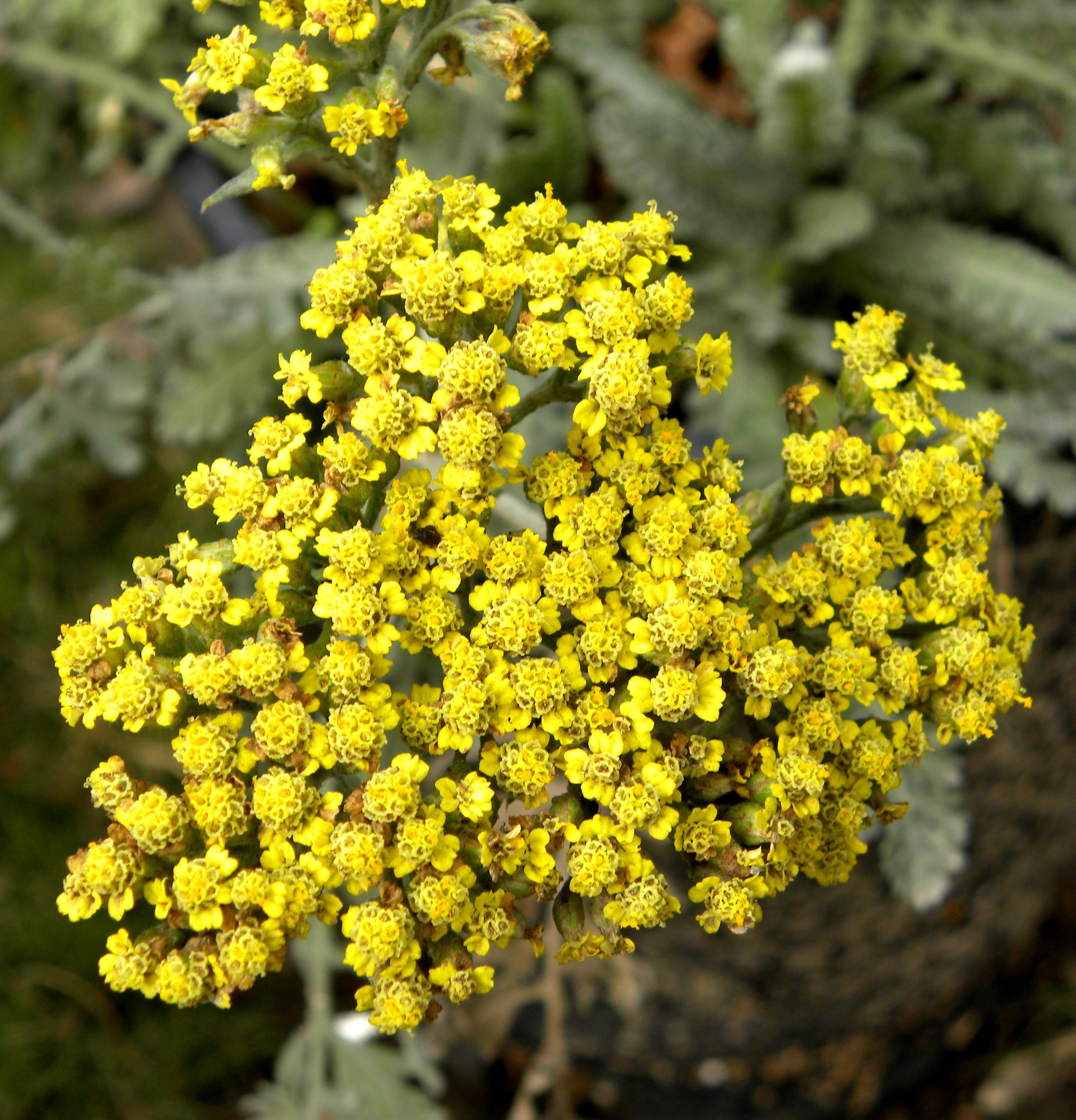 Yarrow Flower means good health and healing Yellow means