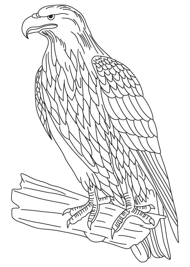 Wedge Tailed Eagle Colouring Pages Eagle Drawing Bird Coloring