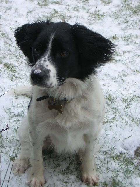 Another Sprollie Springer Border Collie Can T Help It I M