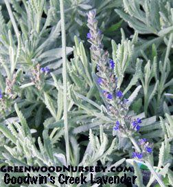 Lavender Plants Lavender Plant Plants Plant Images