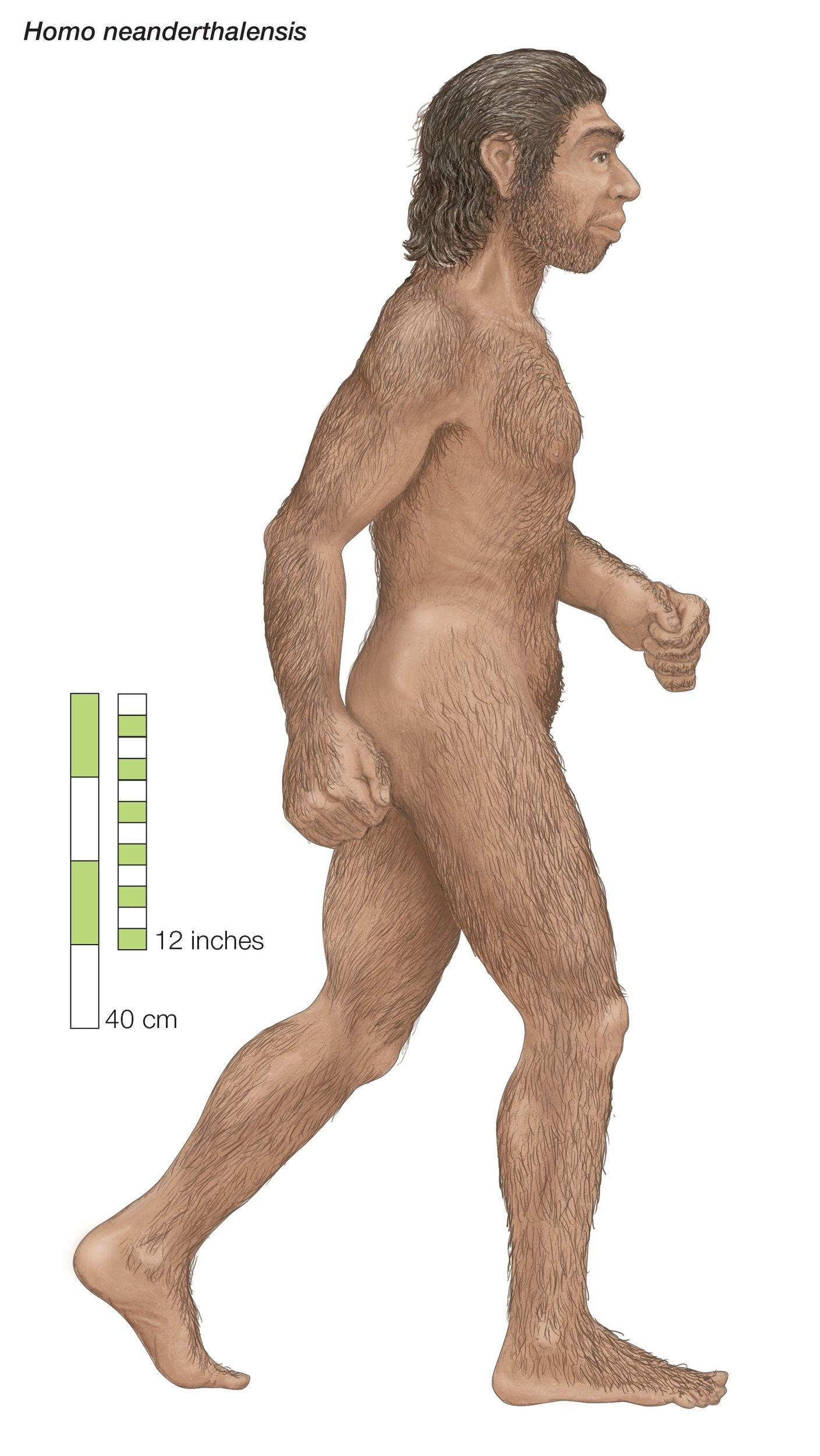 Neanderthals Probablyd Out Earlier Than We Thought