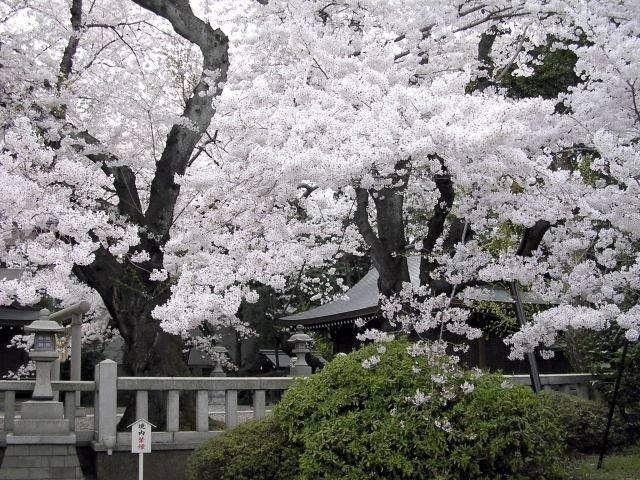 Cherry Blossoms Photo Cherry Blossoms In Japan Cherry Blossoms In Japan Jpg Cherry Blossom Japan Japanese Garden Cherry Blossom Tour