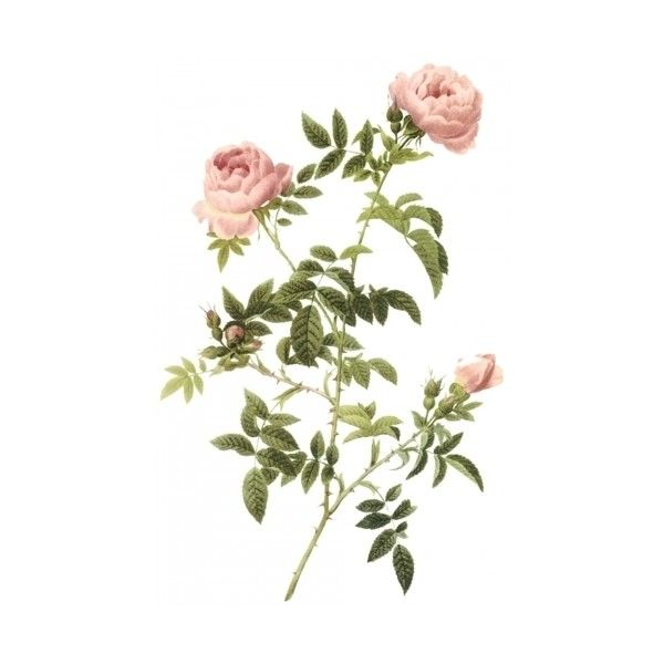 Flowers and Fruits Prints - Semi-Double Field Rose - Rosa Sepium Flore... (76 BRL) ❤ liked on Polyvore featuring home, home decor, flowers, fillers, backgrounds, decor, plants, rose home decor and fruit home decor