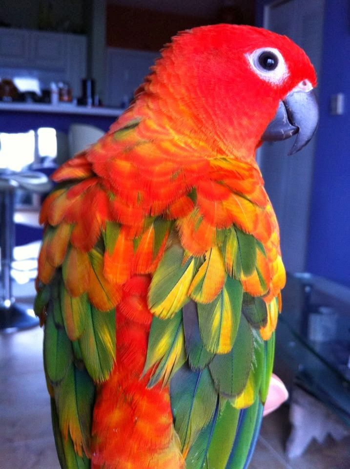Red factor sun conure   this is so cutr   Birds, Colorful