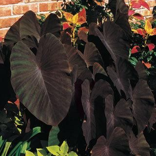 Everyone loves these giant, charcoal-dark leaves! Perfectly formed ...