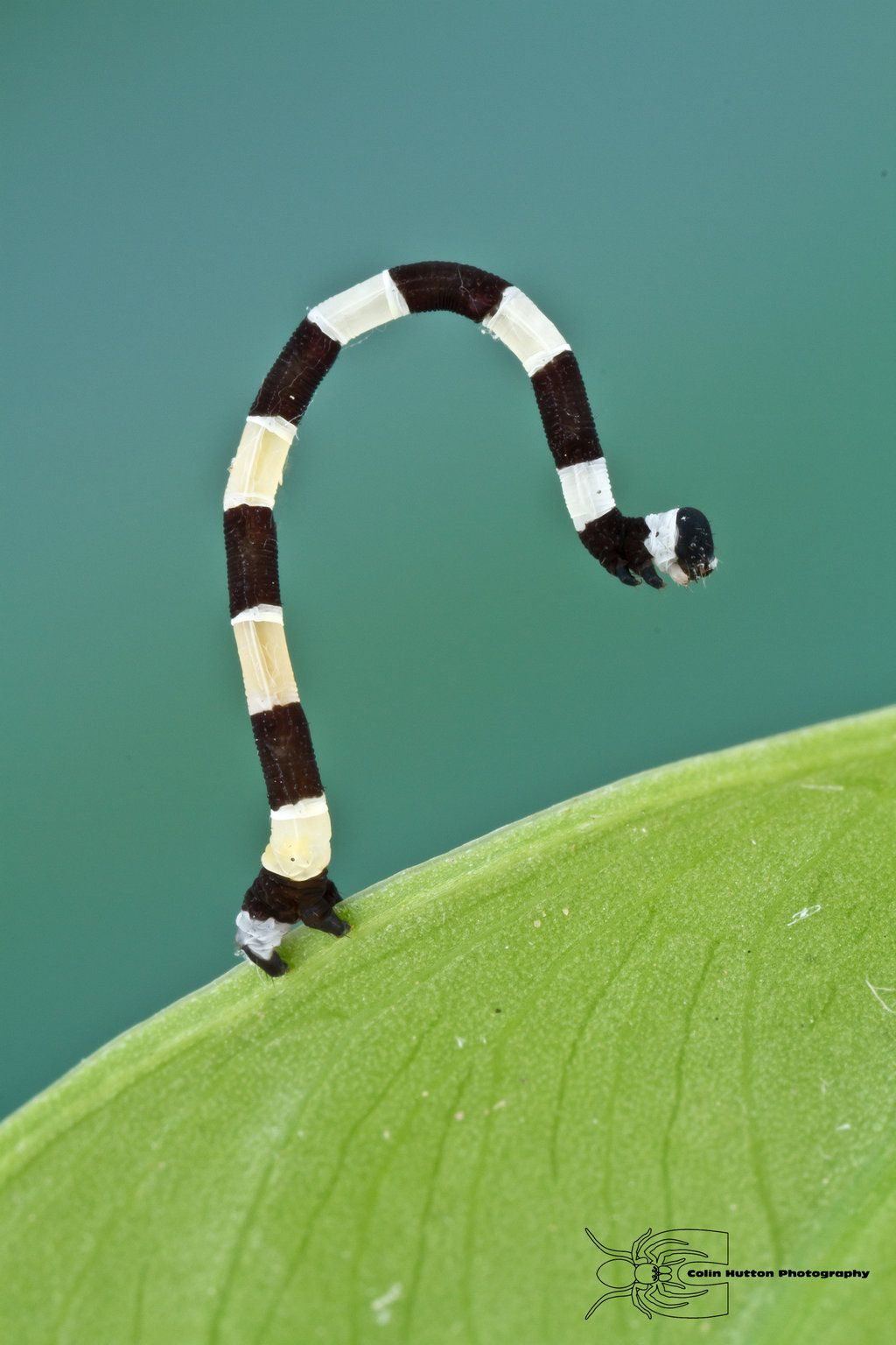 Caterpillar from Colombia by ColinHuttonPhoto.deviantart.com on @DeviantArt