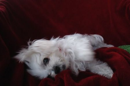 Lil Paws Maltese Rescue In Austin Texas Maltese Dogs Small Dog