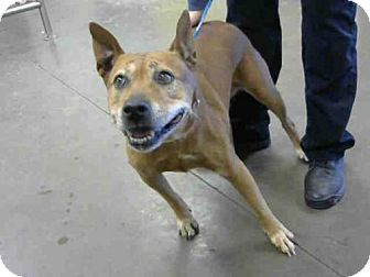Australian Cattle Dog Chow Chow Mix Dog For Adoption In Phoenix