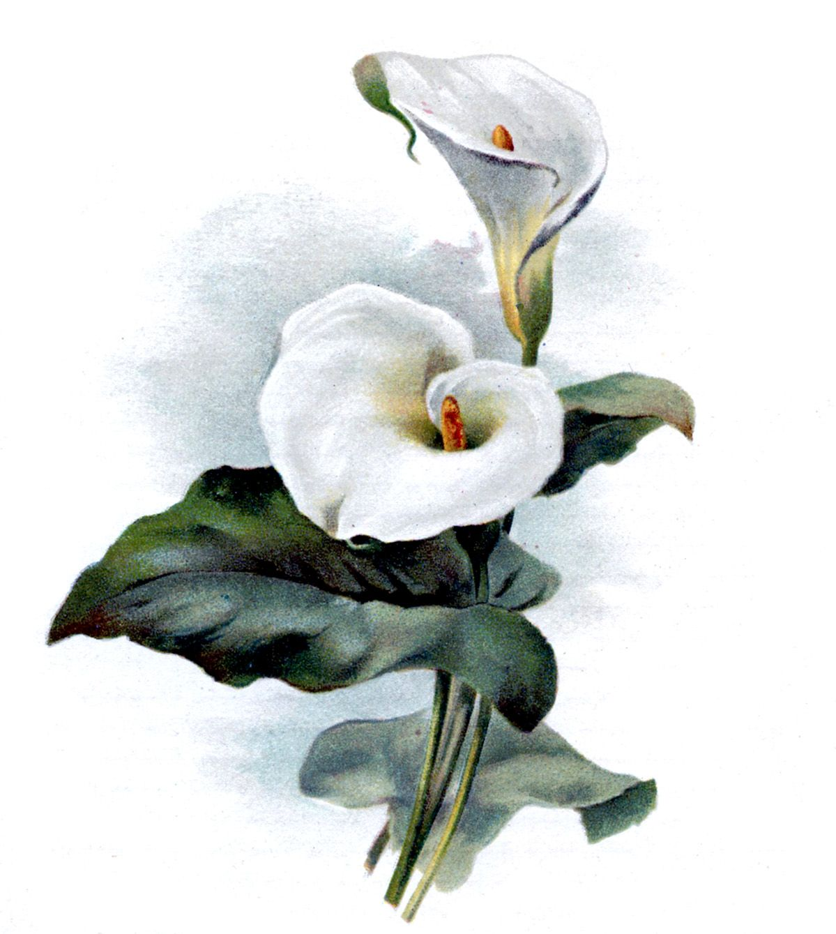 Vintage Botanical Graphic Cala Lily The Graphics Fairy Lilies Drawing Flower Art Lily Images