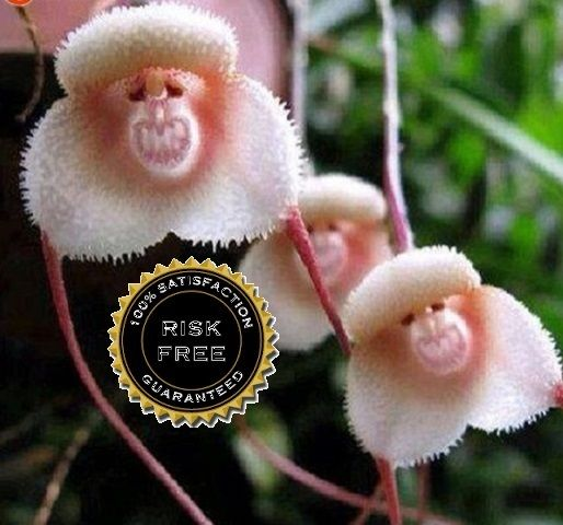 ** 20 ** Laughing Monkey Face Orchid Seeds. Starting at $3