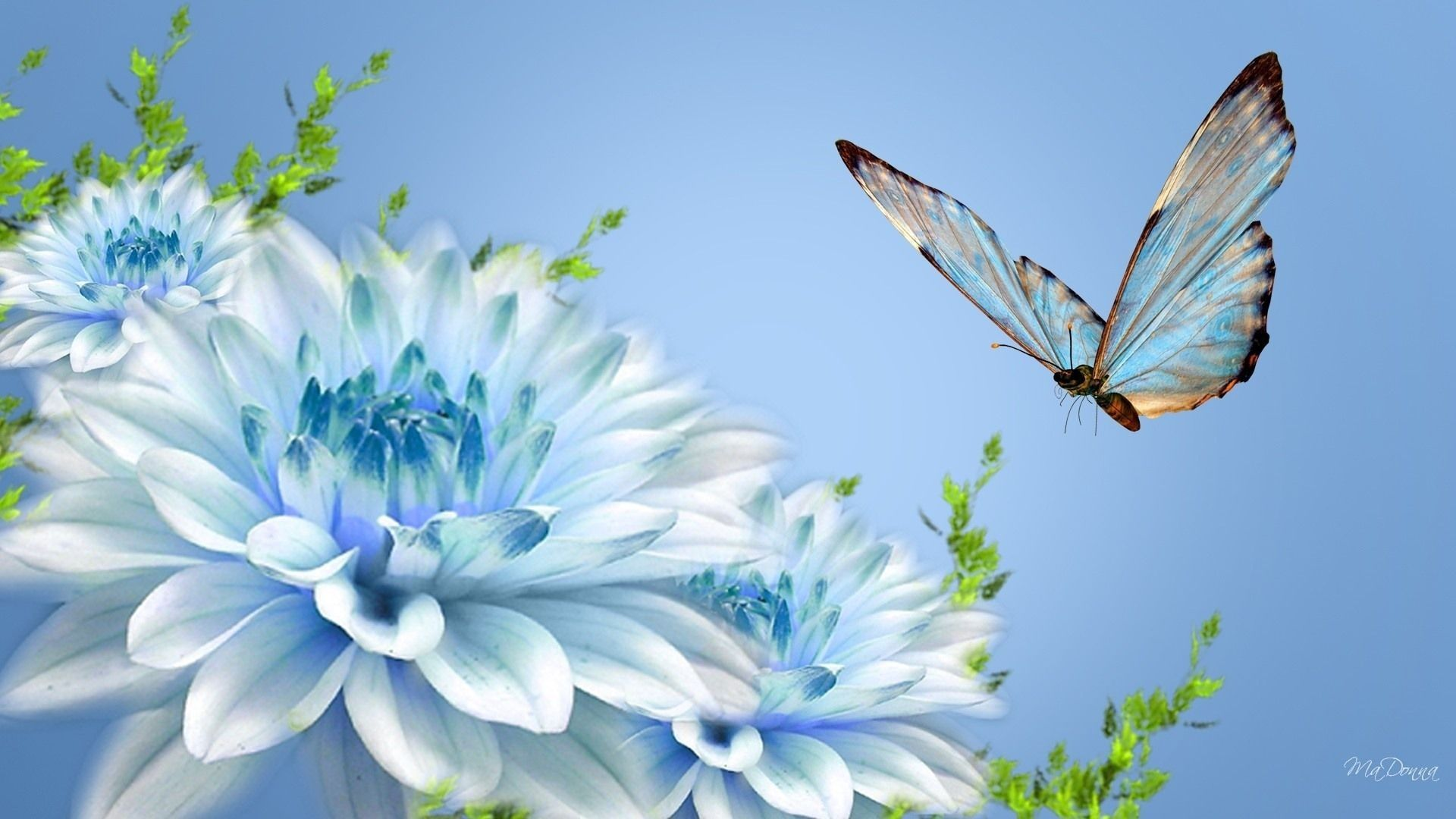 Butterfly On Blue Dahlias Wallpaper Blue Flower Wallpaper Wallpaper Nature Flowers Butterfly Wallpaper