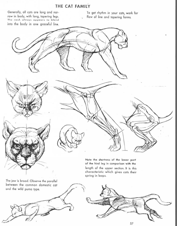 Pin by Bryan Fields on Felines | Pinterest | Animal anatomy, Anatomy ...