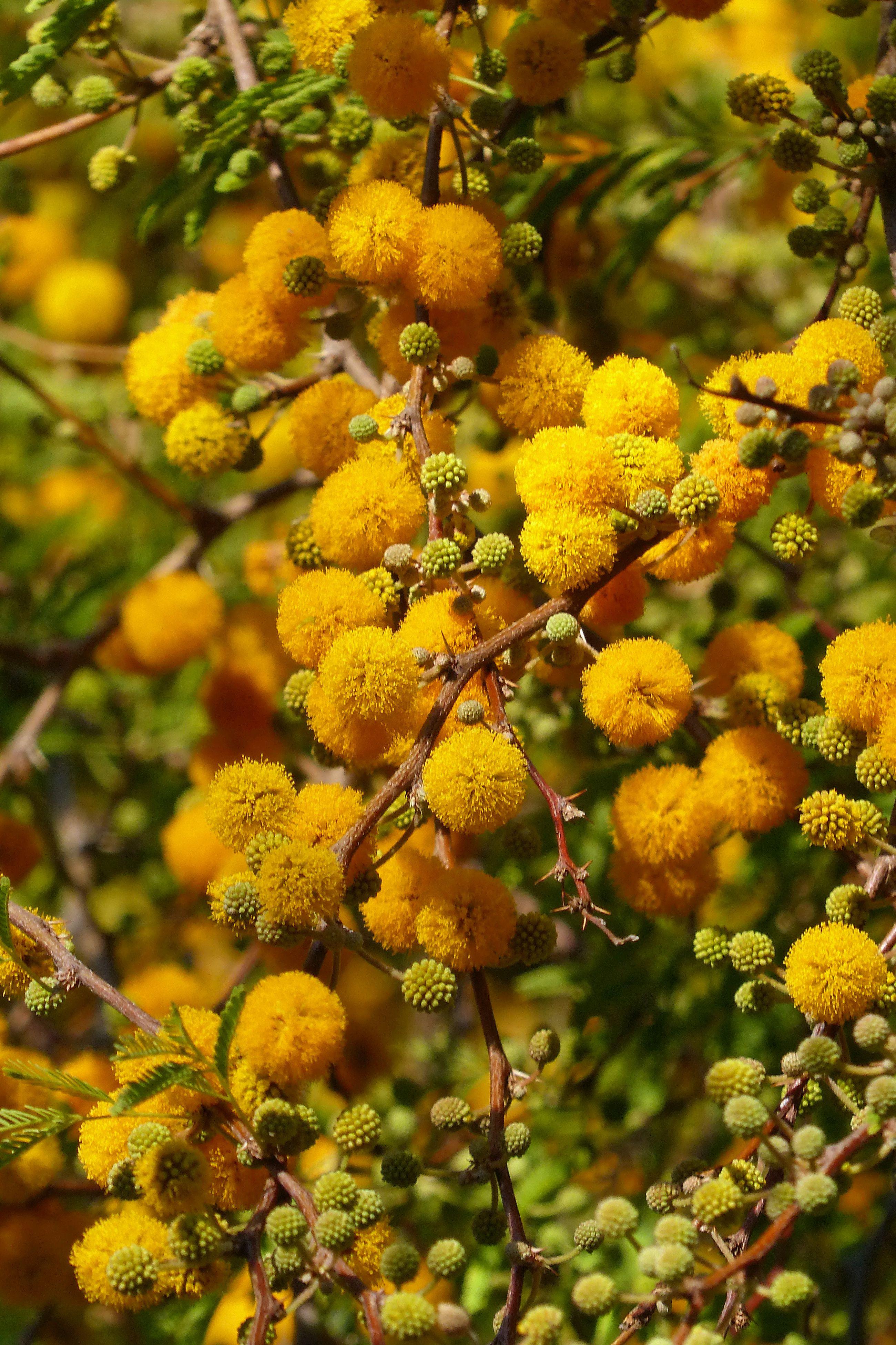 Acacia Farnesiana Or Sweet Acacia Is Just Starting To Bloom In Ottosen Entry Garden Acacia Mimosa Paraguay