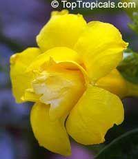 Allamanda Williamsii Double Yellow Flower Rare Variety Vine With