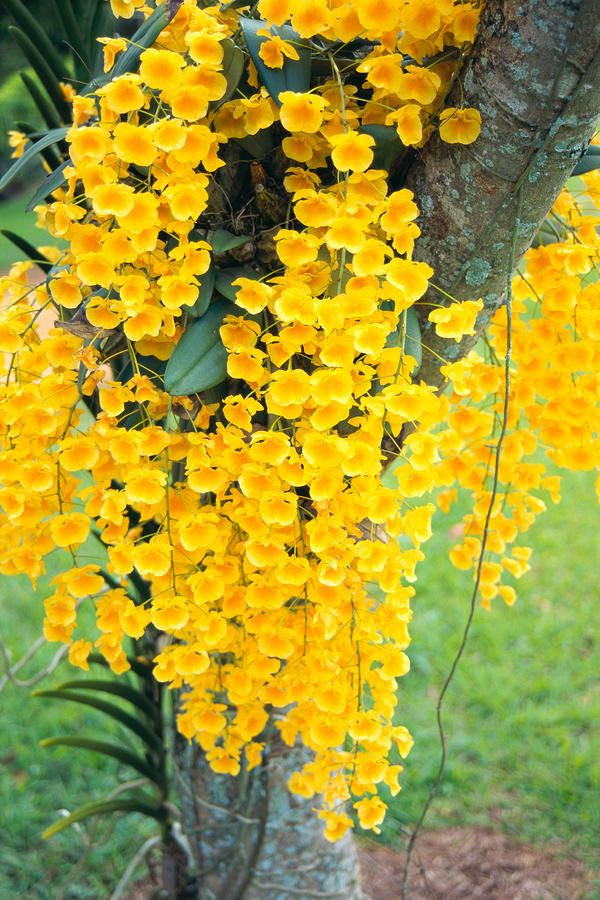 Wild Yellow Orchids Hawaii Amazing World Pinterest