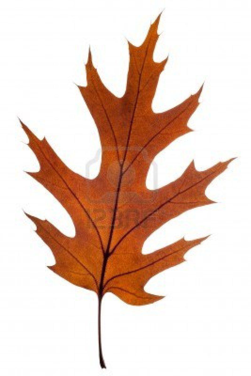 Autumn Leaf Of Red Oak Isolated On White Oak Tree Drawings Oak Leaf Tattoos Red Oak Tree