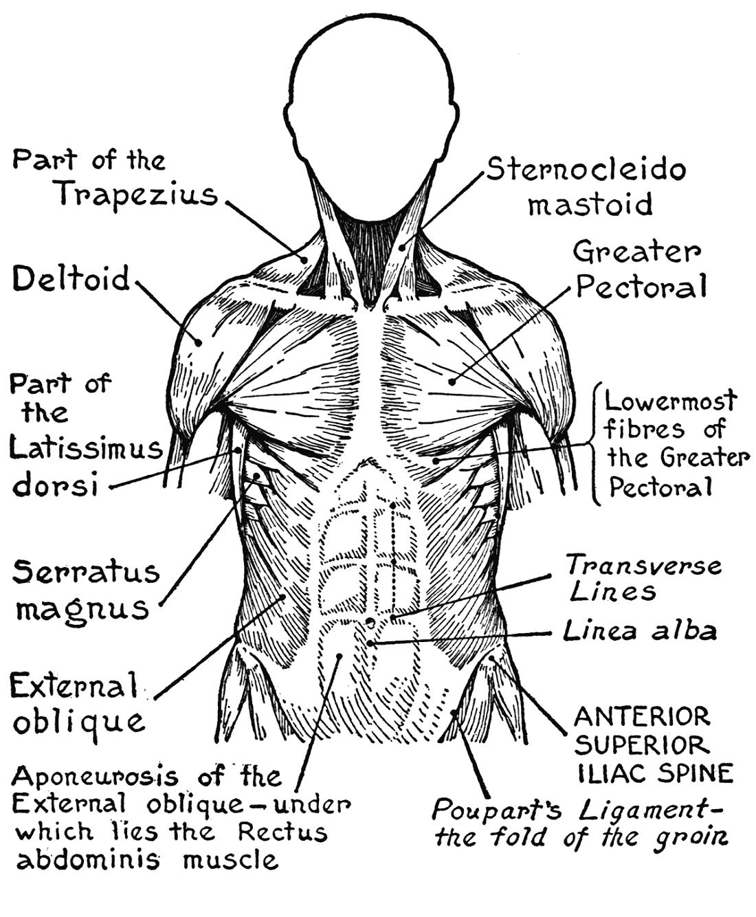 Human Muscles Coloring Diagram