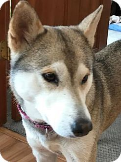 Pictures of Clover a Husky Mix for adoption in Colorado