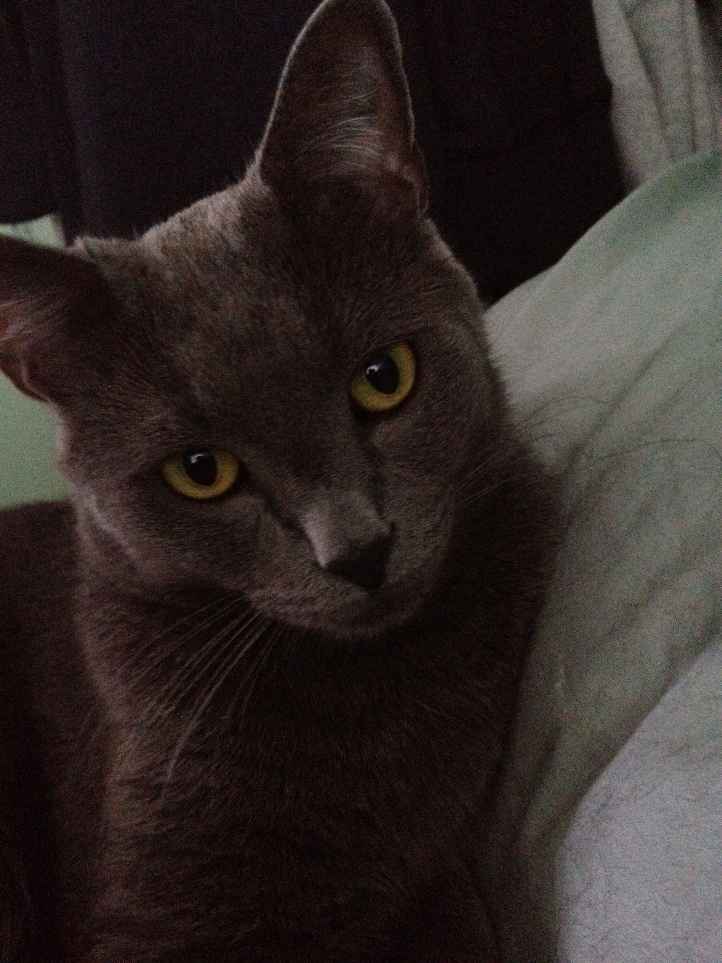 SimbaMy Russian Blue. Russian blue, Cats, Cat lady