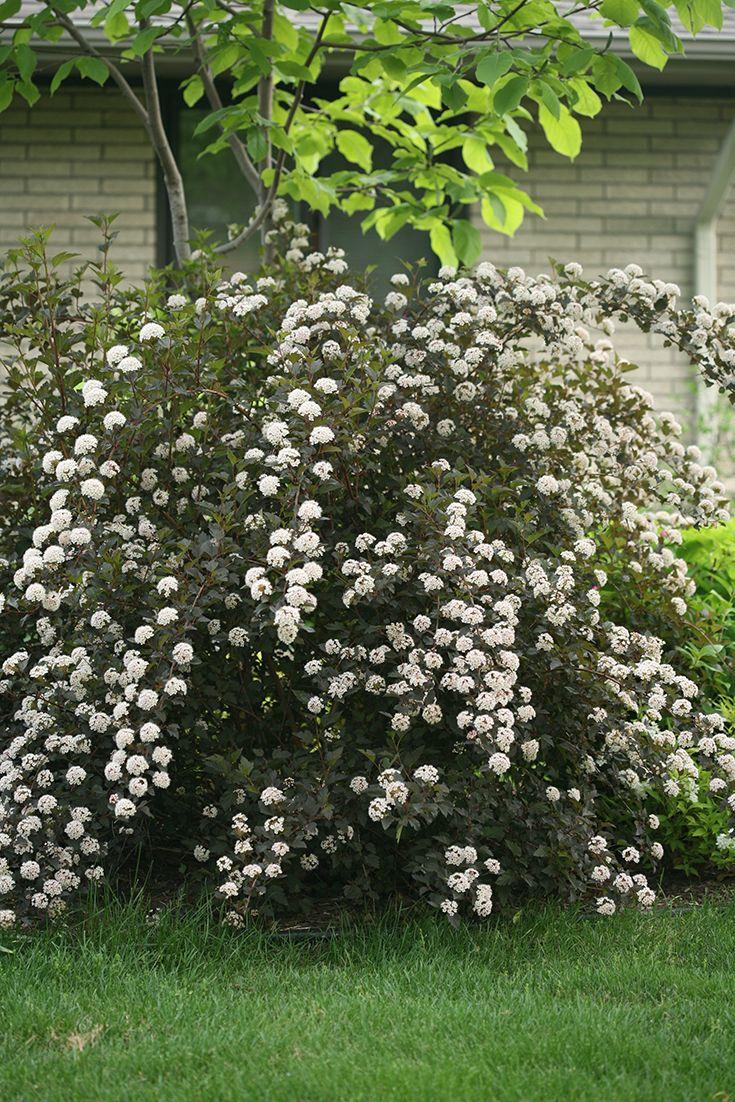 summer wine - ninebark physocarpus