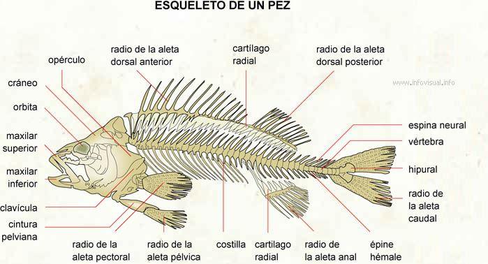 Esqueleto De Un Pez Anatomia De Los Peces Esqueleto Pez Anatomia
