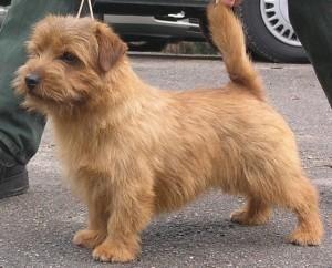 Broholmer Origin Denmark Dog breeds, Puppies, Cute dogs