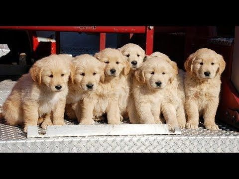 Funny Golden Retriever Puppies Compilation Video 2017 Golden Retriever Golden Retriever Funny Golden Retriever Kitten