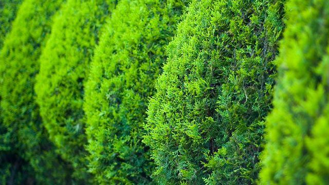 Más de 25 ideas increíbles sobre Heckenpflanzen immergrün en - gartenpflanzen winterhart immergrun