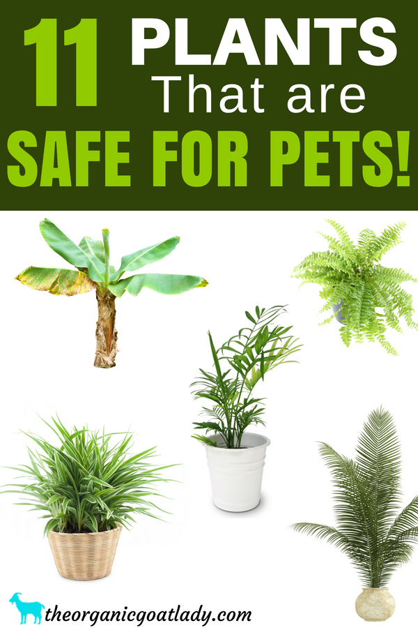 11 House Plants Safe For Cats And Dogs The Organic Goat Lady Safe House Plants Toxic Plants For Cats Plants