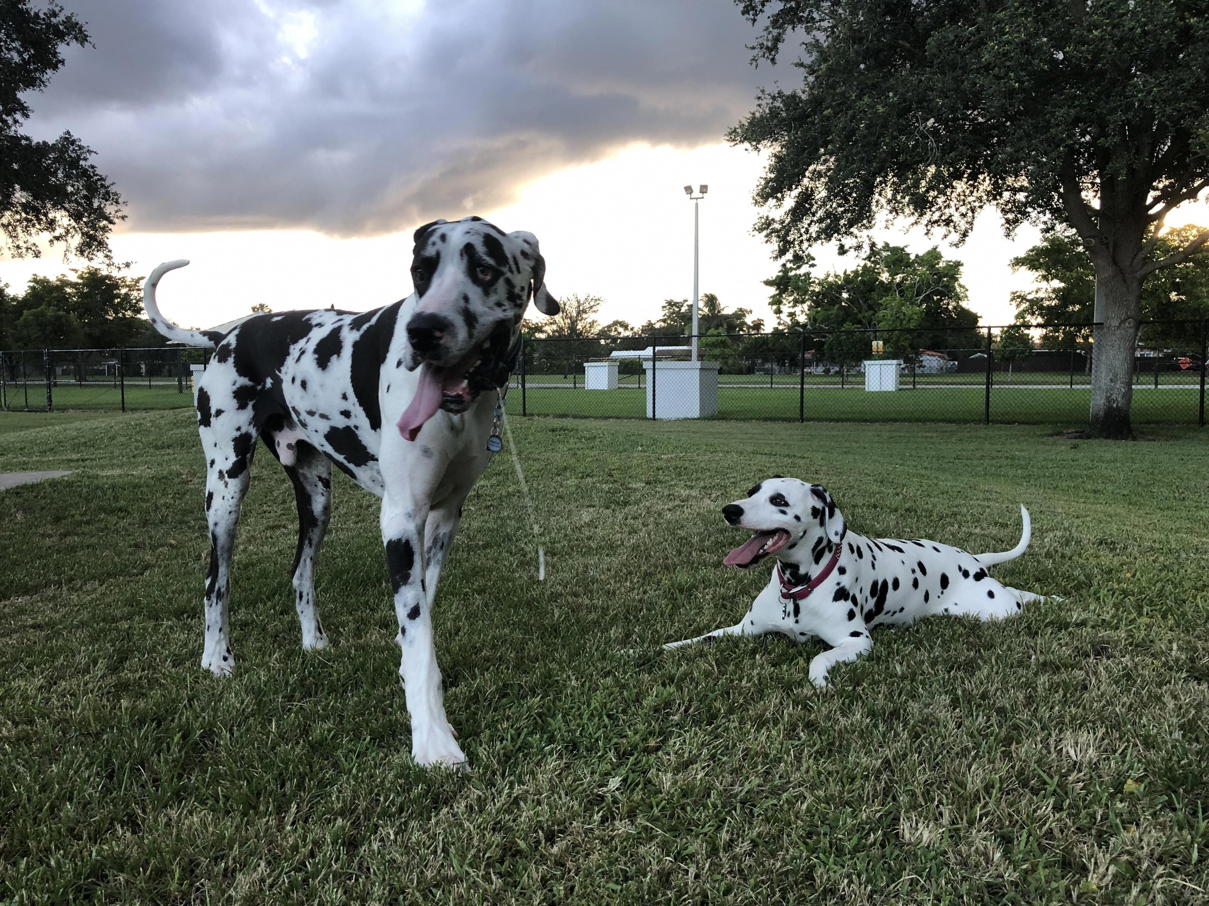 Daily Great Dane Thedailygreatdane Instagram Posts Videos Stories On Picoji Com Harlequin Great Danes Great Dane Great Dane Dogs