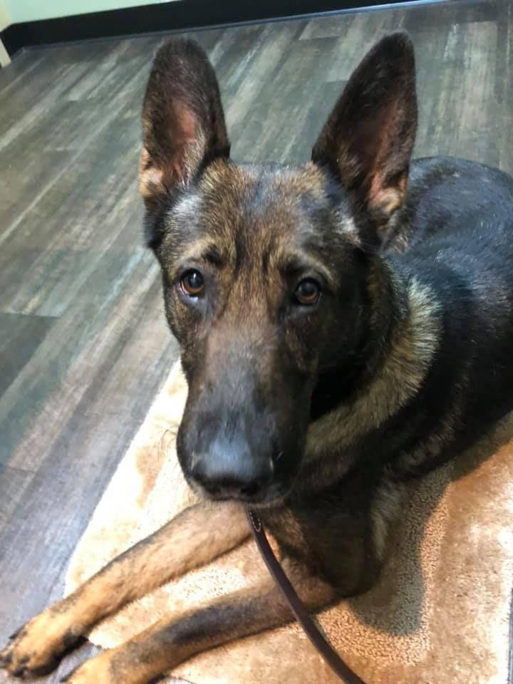 Adopt Zena on Adoption, German shepherd dogs, Rescue dogs