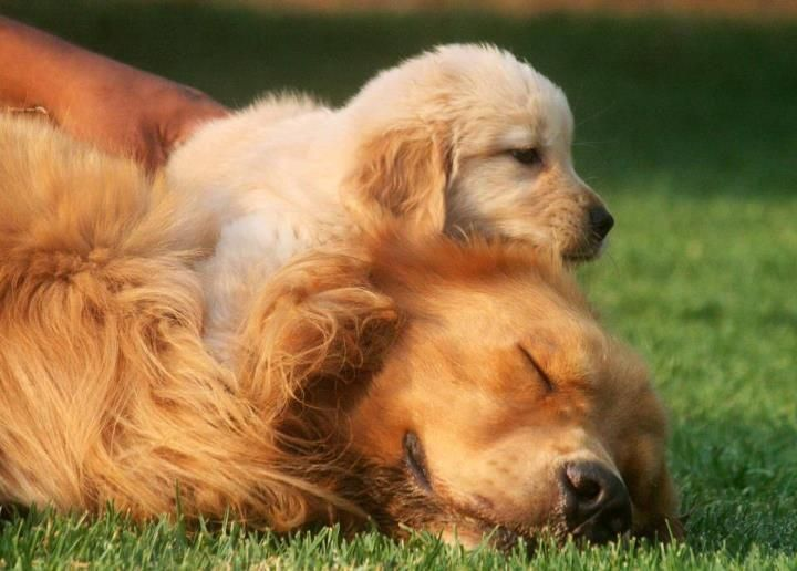 Love 3 Golden Retriever Dog Love Animals Beautiful